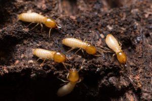 termite-300x200.jpg