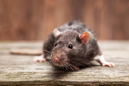 residential rodent control